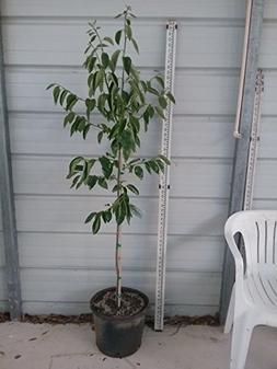 FUJU Japanese Persimmon Tree 5+ FT Ships 5 GAL Pot Fruiting