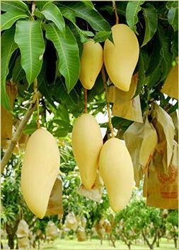 NAM Doc Mai Grafted Mango Tree - Thai Favorite Mango